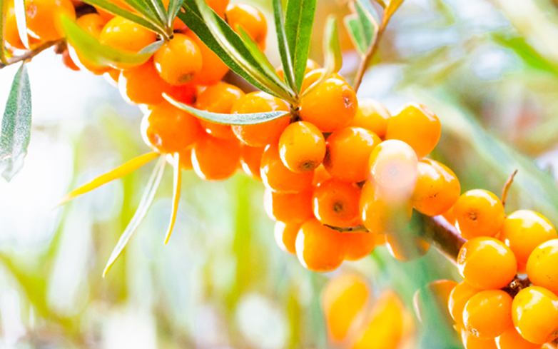 Small But Mighty: Sea Buckthorn Delivers Antioxidant and Hydrating Power